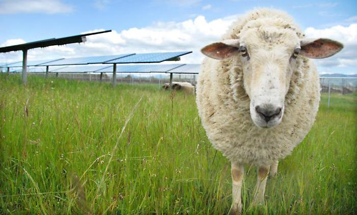 Sheep in front of solar panels