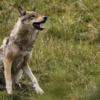 Why Restore Wolves to Colorado Part IV: Intentional Reintroduction Allows Flexibility