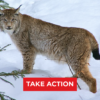 TAKE ACTION: Stop Purgatory's Destruction of Lynx Habitat